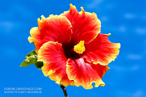 Beautiful Hibiscus at blue sky background           THX_2673bs | by Phuketian.S