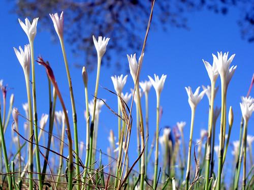flowers sky flower whiteflower stem skies dof bluesky depthoffield stems blueskies depth skyblue whiteflowers rainlily rainlilies