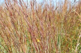 Big Bluestem | by Friends of Neal Smith NWR and the Prairie Learning