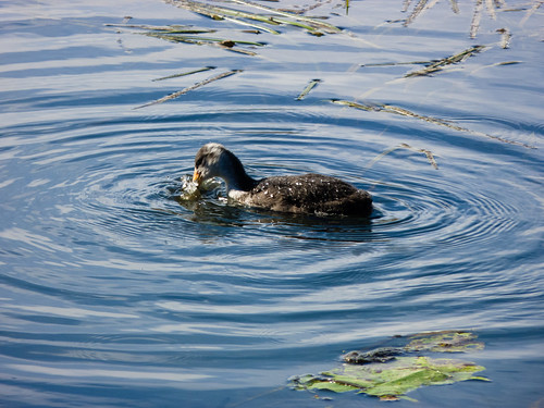 Young coot, Birmingham canal