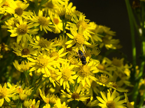 Ragwort flowers with hoverfly