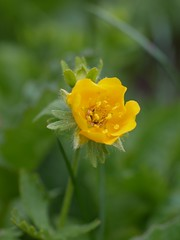 火, 2011-08-09 15:13 - Mountain Buttercup