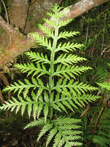 Mystery Fern - East Maui | by Forest & Kim