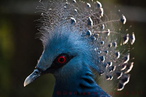 blue nature canon nc eurasian scotlandneck gouracristata threatened bluecrownedpigeon 450d sylvanheightswaterfowlpark imaginefotocom