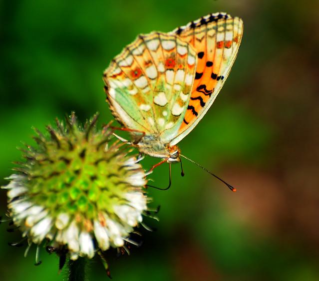Butterfly in Tibetan called ཕྱེ་མ་ལེབ།  chemalep (gps altitude 3132 m), Tibet