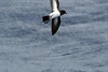 White-bellied Storm-Petrel, at Sea N of Norfolk Island, Pacific Ocean by Terathopius
