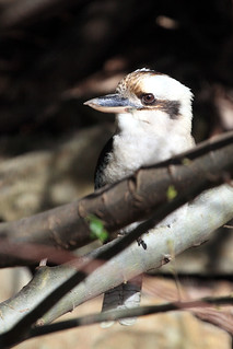 Laughing Kookaburra | by dmmaus