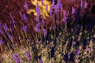 Lavender and Sunlight