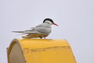 Arctic Tern, Torshavn, Faroe Islands