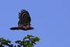 Harpie huppée phase noire. Morphnus guianensis by Johann973