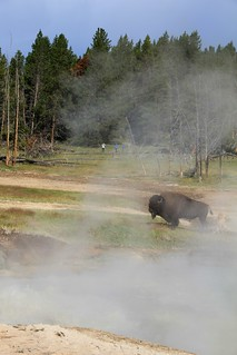 Bison at Sulphur Caldron 2- 15 Aug 2011 | by musicvet2003