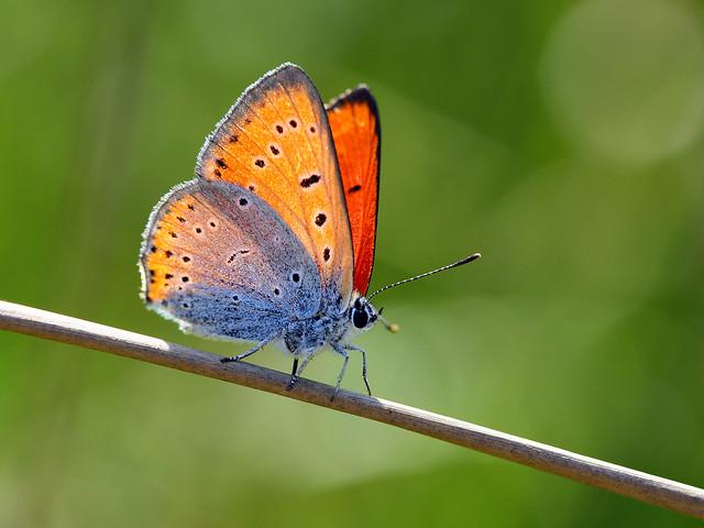 Butterflies Large Copper - Braşov,Transilvania, Ro.