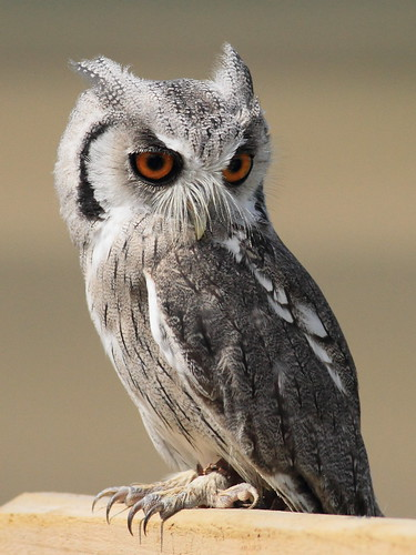 White Faced Scops Owl | by Linton Snapper
