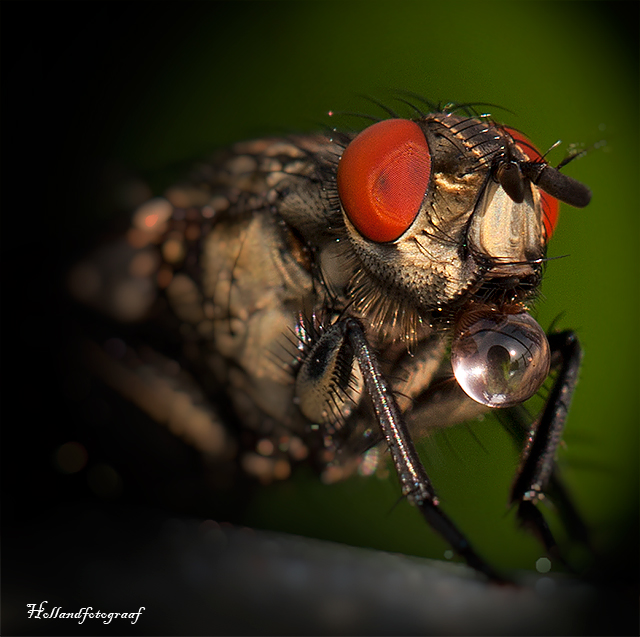 another angle of that flesh-fly