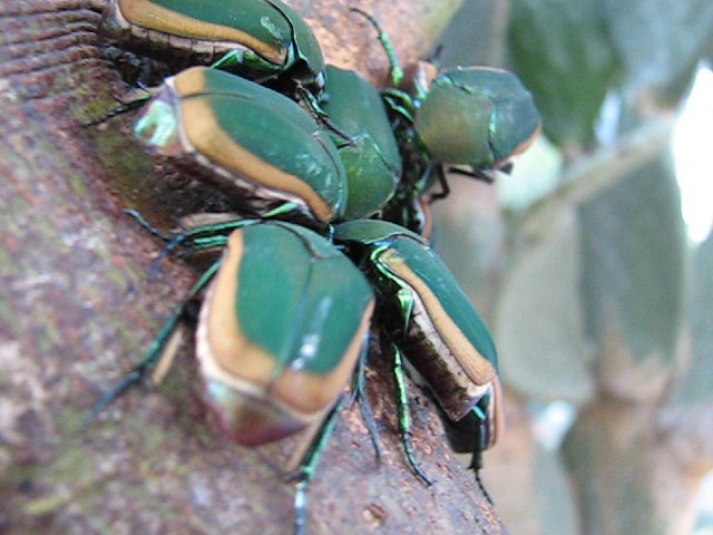 Green Fruit Beetle Bonanza