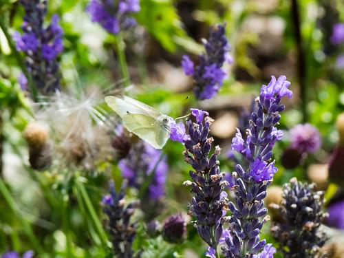 White butterfly on lavender flower
