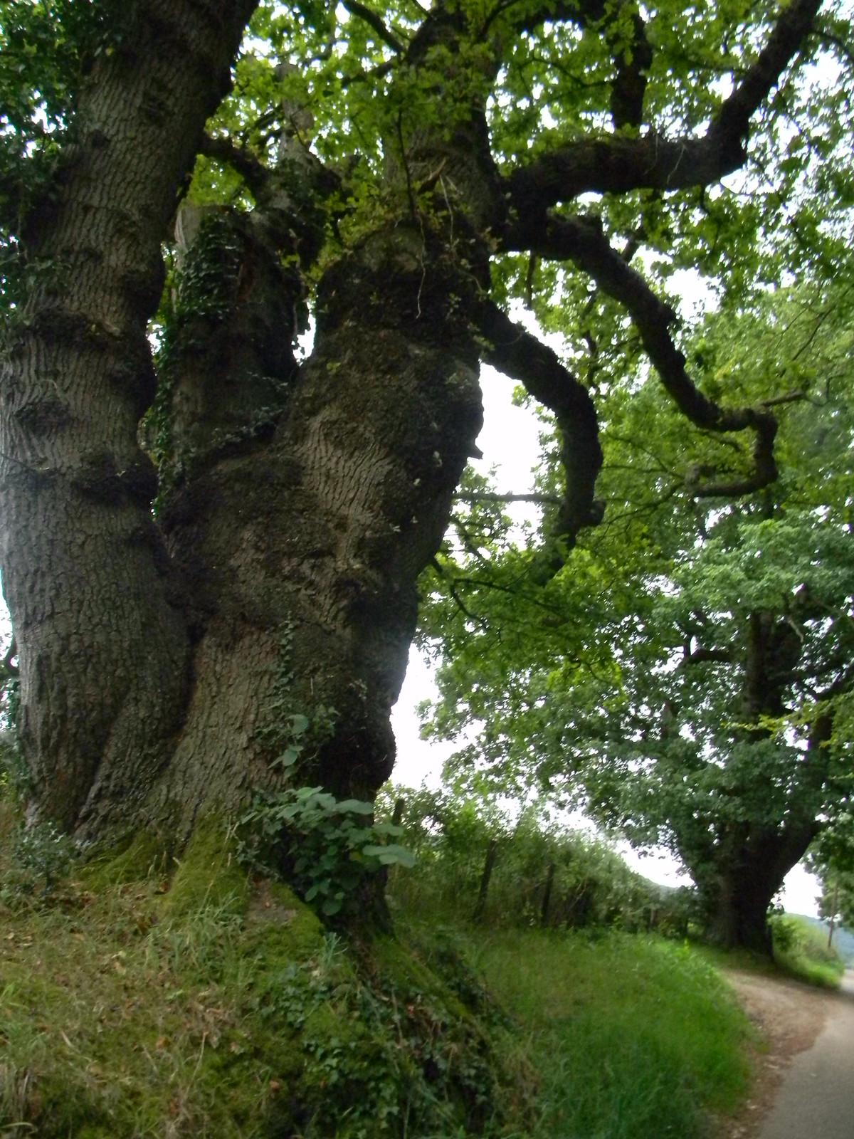 Tree Ashurst Circular