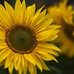 Sunflower (FD 55mm f1.2)