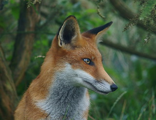 Fox Portrait | by Peter G Trimming