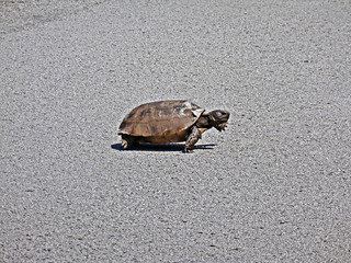 Gopher Tortoise | by Mrs Pumpkin