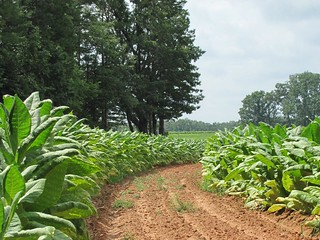 Curving Tobacco Rows | by David Hoffman '41