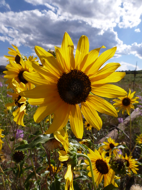 Roadside Sunflower
