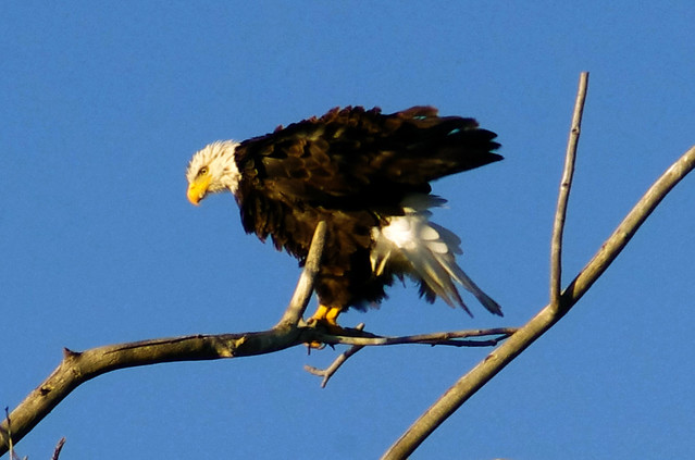 Bald Eagle shaking it out