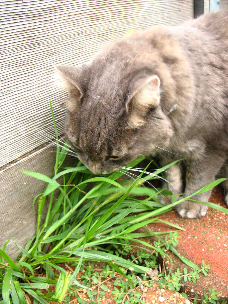 cat eats weed