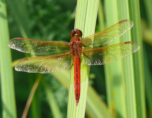 Needham's Skimmer (Libellula needhami) | by Larry Meade