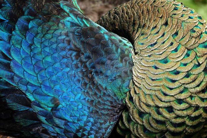 Peacock's Feather   Merak Jawa - Java Peacock - Phasianidae
