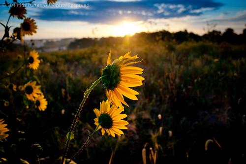 city morning flowers nature sunflower kansas