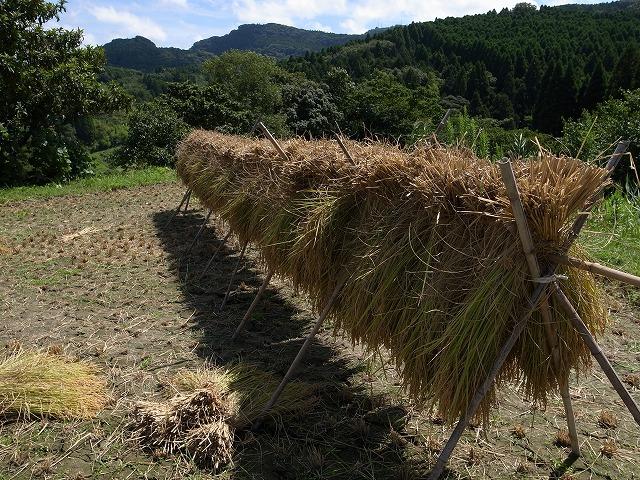 <p>l)刈り取った稲を干します。</p>