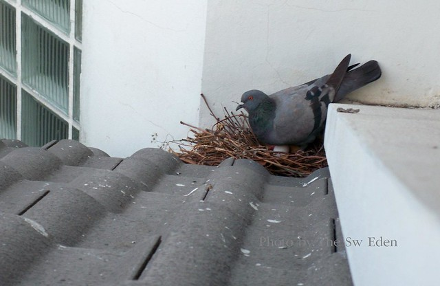 Lost of pigeon eggs