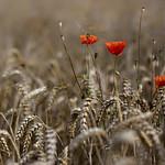 Poppy above Wheat [Explore Aug 23rd 2011]