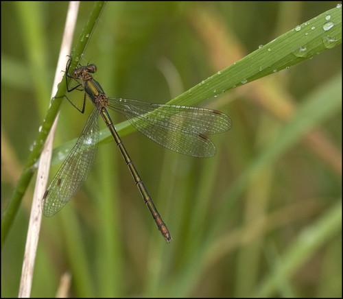 ireland macro dragonflies dragonfly insects damselfly damselflies zygoptera emeralddamselfly laois commonspreadwing abbeyleix sigma180macro lestessponsa sigma180 colaois irishwildlife irishdragonflies killamuck sigma180mm35dexapomacro killamuckbog abbeyleixbog