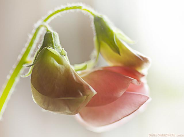 234 of 365 - Sunshine Sweet Peas