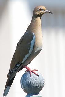 White-winged Dove | by Dan Pancamo