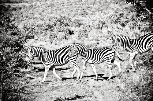 Safari | by vic.bergmann