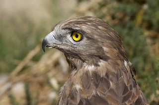 Circaetus gallicus - Short-toed Snake-Eagle | by Marc Nollet
