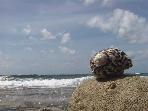 West Indian Top (shell) on coral rock next to waves | by Ashley Coates