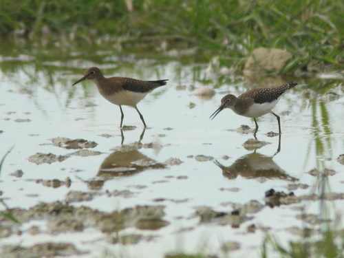 Solitary Sandpipers 20110821 | by Kenneth Cole Schneider