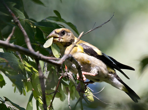 Evening Grosbeak in box elder tree