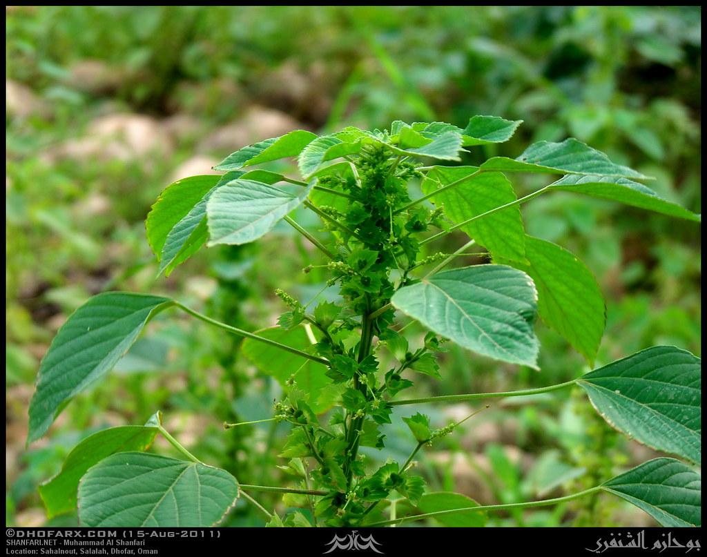 Copperleaf Acalypha Indica Plant In Sahanlout Salalah Flickr