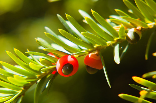 Yew berries just beginning to ripen
