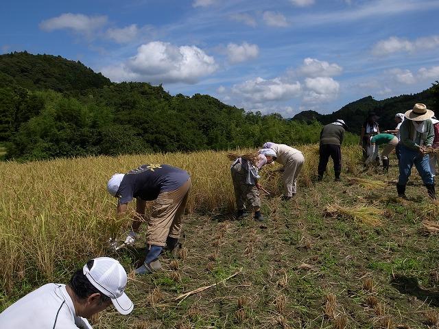 <p>g)がんばって稲を刈ってます。</p>