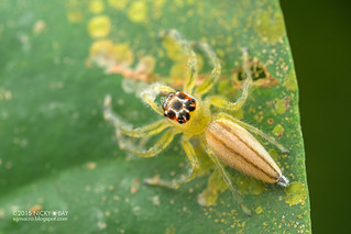 Jumping spider (Telamonia sp.) - ESC_0231