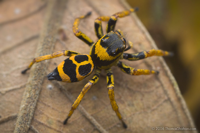 Phiale sp. Jumping Spider - Tambopata, Peru