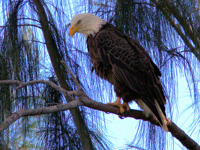 Bald Eagle female Jewel 20161228