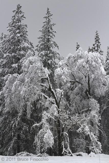 Snow Covered Black Oaks