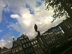 Reiger in Amsterdam